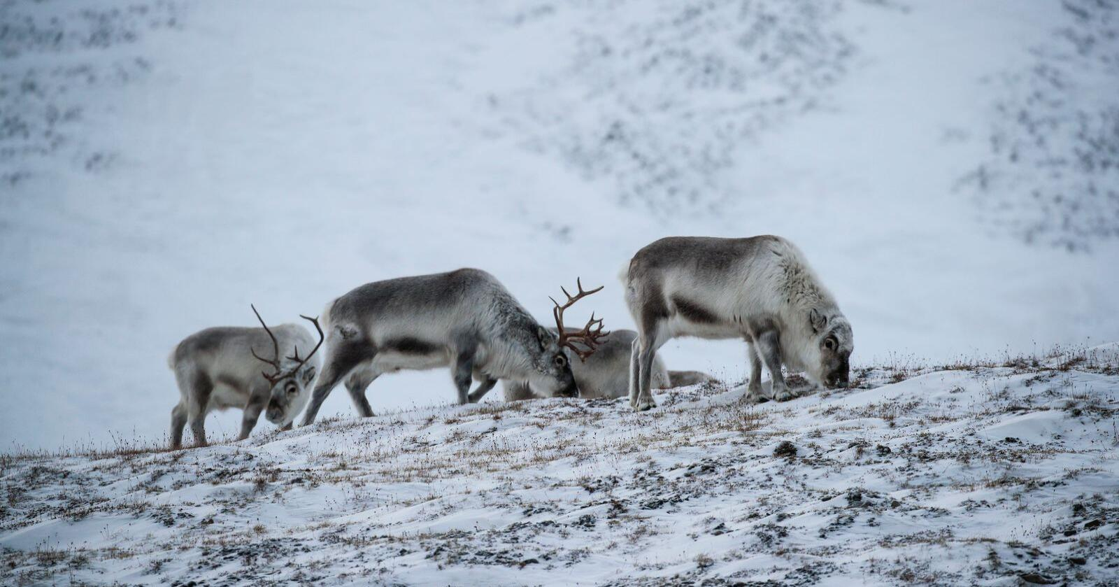 Reinsdyr på Svalbard. Foto: Lise Åserud / NTB scanpix