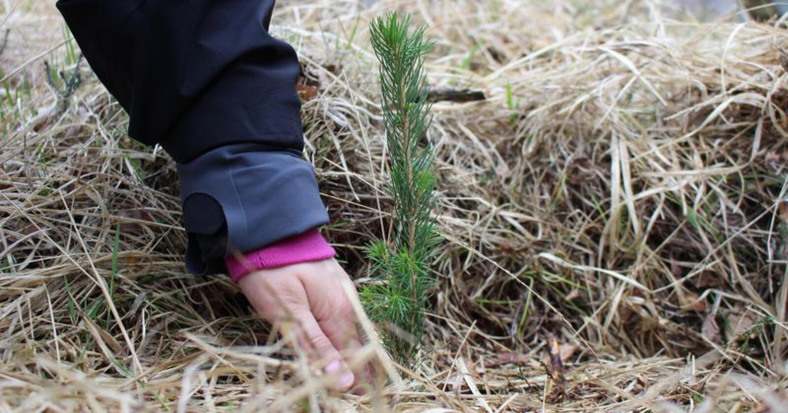 Vi må plante mer skog i Norge, mener landbruks- og matminister Jon Georg Dale. (Foto: Gerd Inger Aarnes)