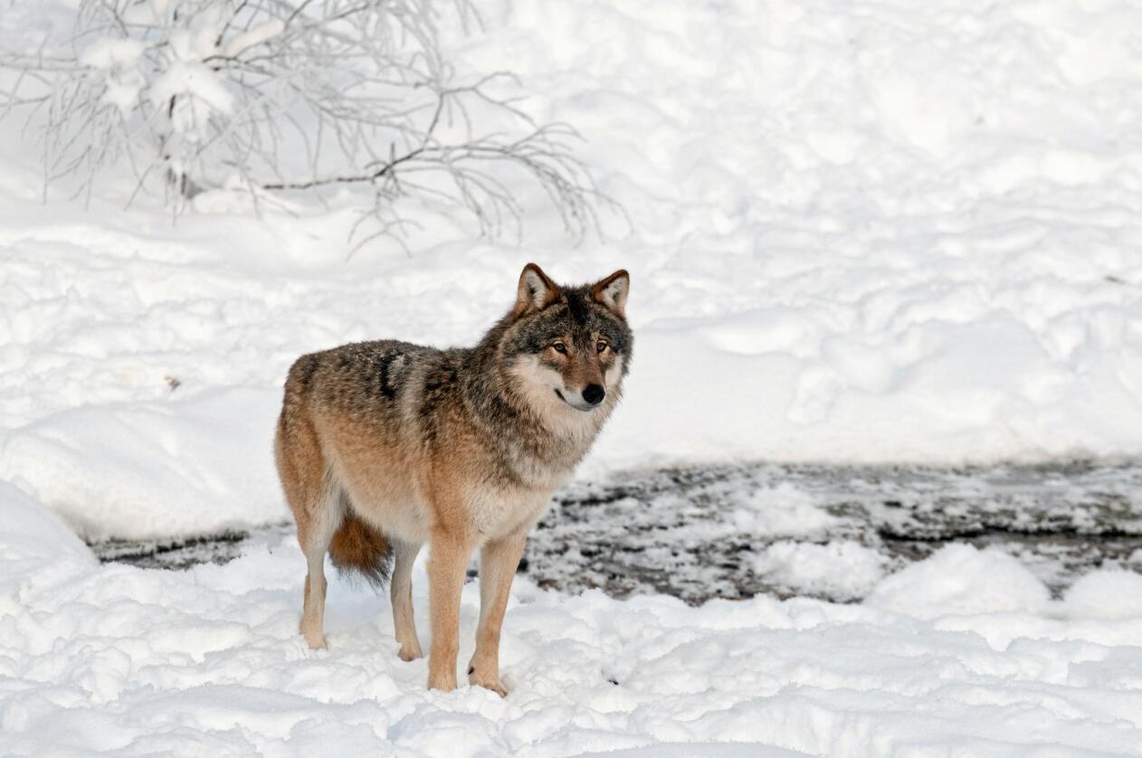 Strid: Også i Danmark skapar ulven strid. Illustrasjonsfoto: Felix Andre Skulstad / Mostphotos.com