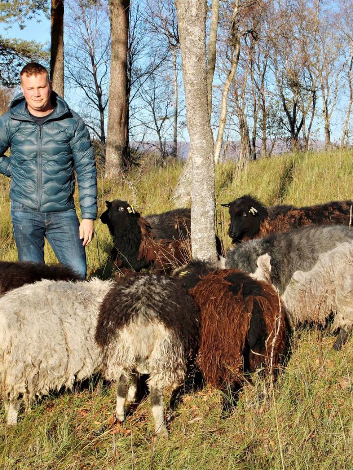 Trond Bjørkås, bonde i Vefsn. Med vilsau på beite nær gården.