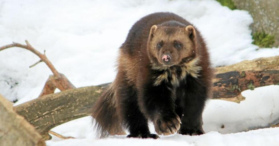 Jervejakt innenfor ulvesonen provoserer Naturvernforbundet. Foto: Wikimedia Commons