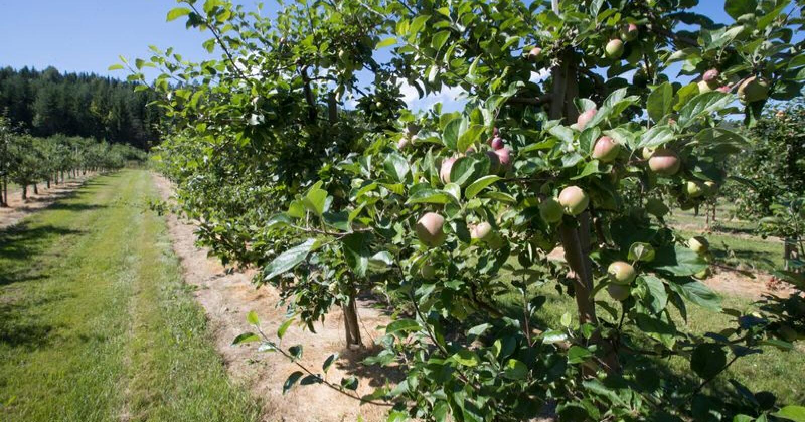 Dyrking av epler langs Eikeren I Øvre Eiker kommune. Arkivfoto: Terje Bendiksby / NTB scanpix