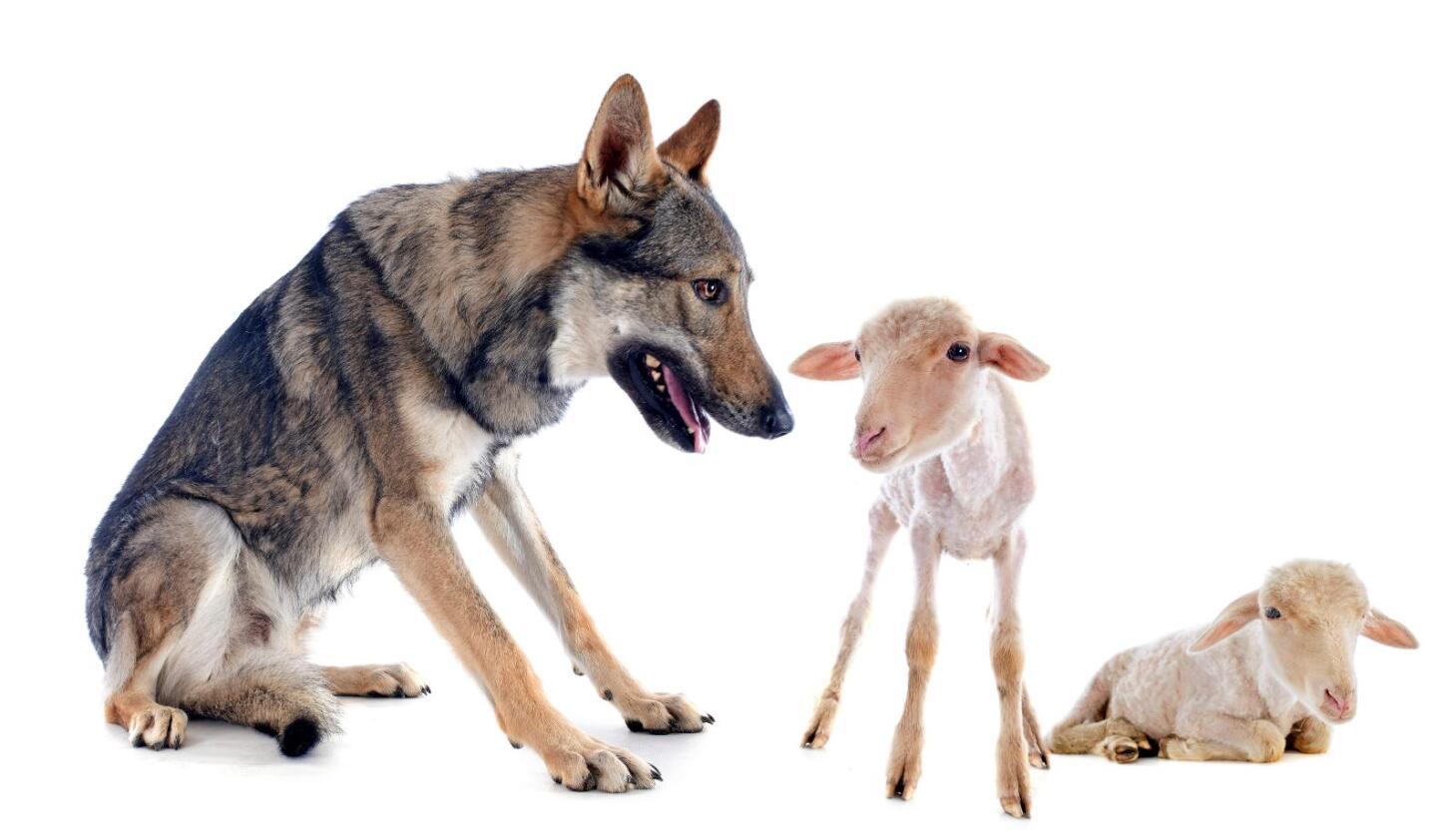 Dersom ulven nærmer seg sau skal den skytes, mener Trygve Slagsvold Vedum (Sp). Illustrasjon: Colourbox