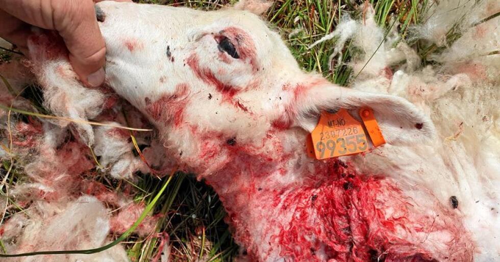 Tviler: Færre sau på beite gir færre rovdyrskader, skriver innsenderen. Foto: Kristoffer Moan