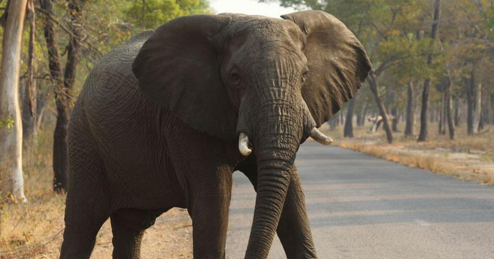 En elefant krysser en vei i Hwange nasjonalpark i Zimbabwe. Landet er rammet av omfattende tørke, noe som har ført til at mange elefanter har omkommet de siste par månedene. Foto: AP / NTB scanpix