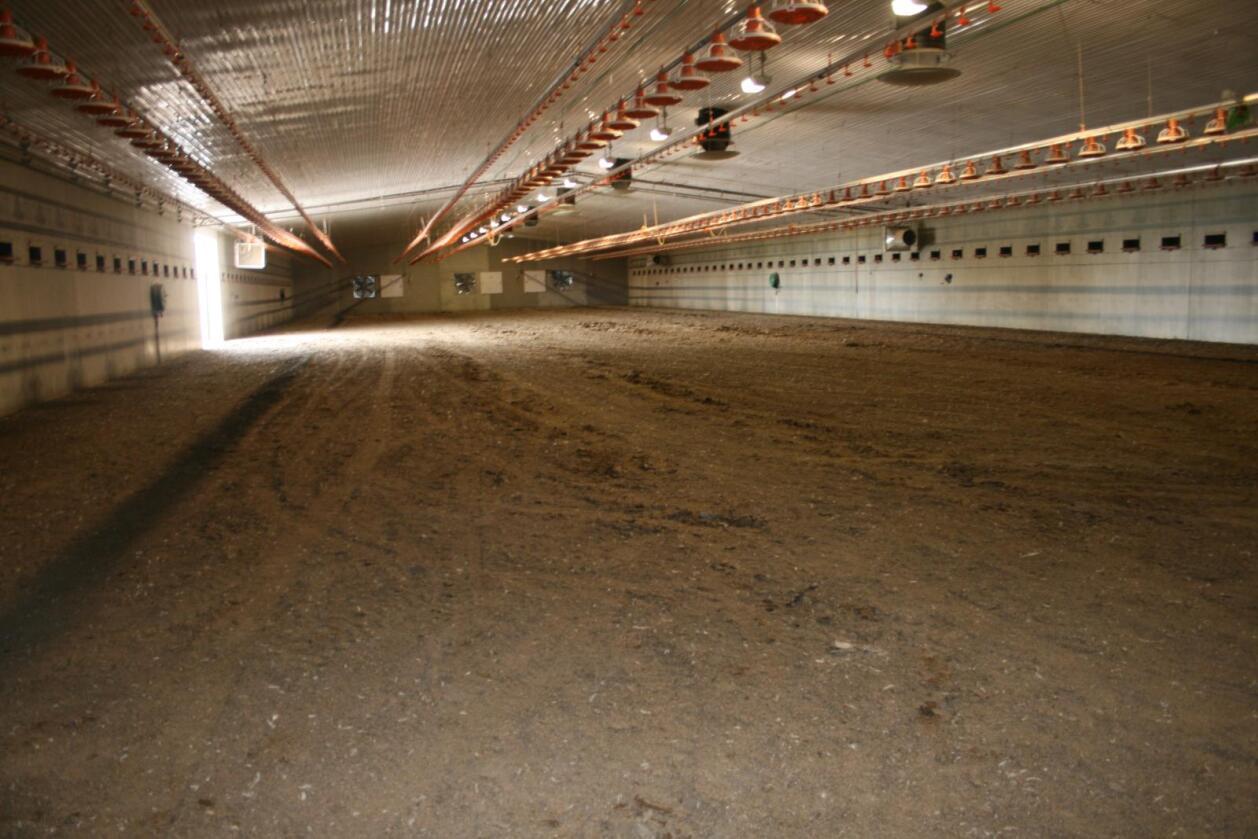 Alle dei store kyllingaktørane reduserer produksjonen. Kyllingbønder må la nye kyllinghus stå tomme eller det blir sett inn færre kyllingar enn det er plass til. Foto: Bjarne Bekkeheien Aase