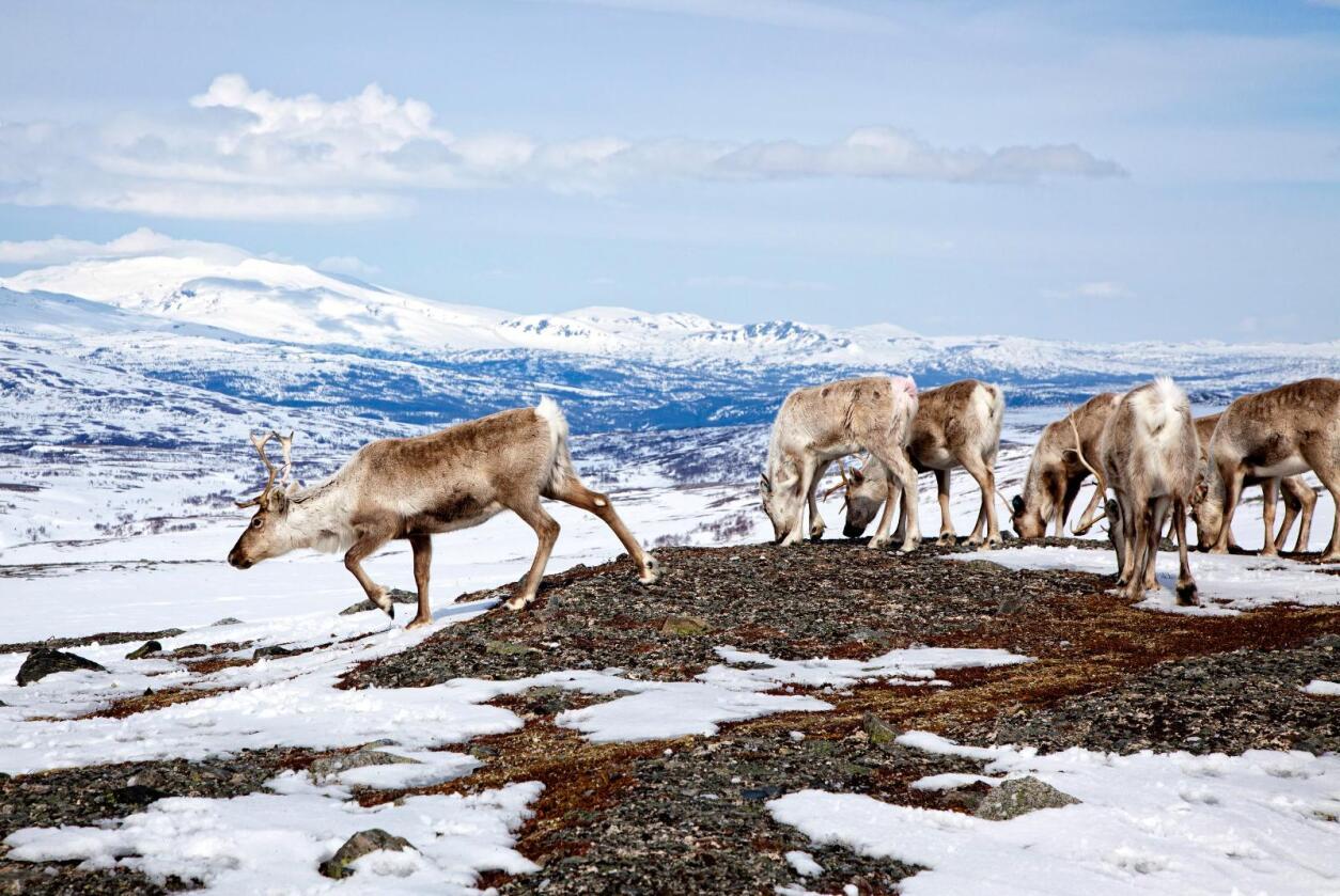 Ordførarane i fem kommunar i Sogn og Fjordane og Buskerud meiner ein bør vente med å skyte ned villreinstammen i Nordfjella. Foto: Bente Haarstad