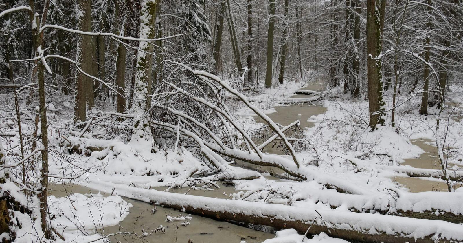 Mangfold: De siste 40 årene har det blitt gjort mye for å ta vare på naturmangfoldet i norsk skogbruk. Det spares kantsoner mot myrer og vassdrag. Det spares nøkkelbiotoper og det settes igjen livsløpstrær, for å nevne noe, skriver kronikøren. Foto: Mostphotos