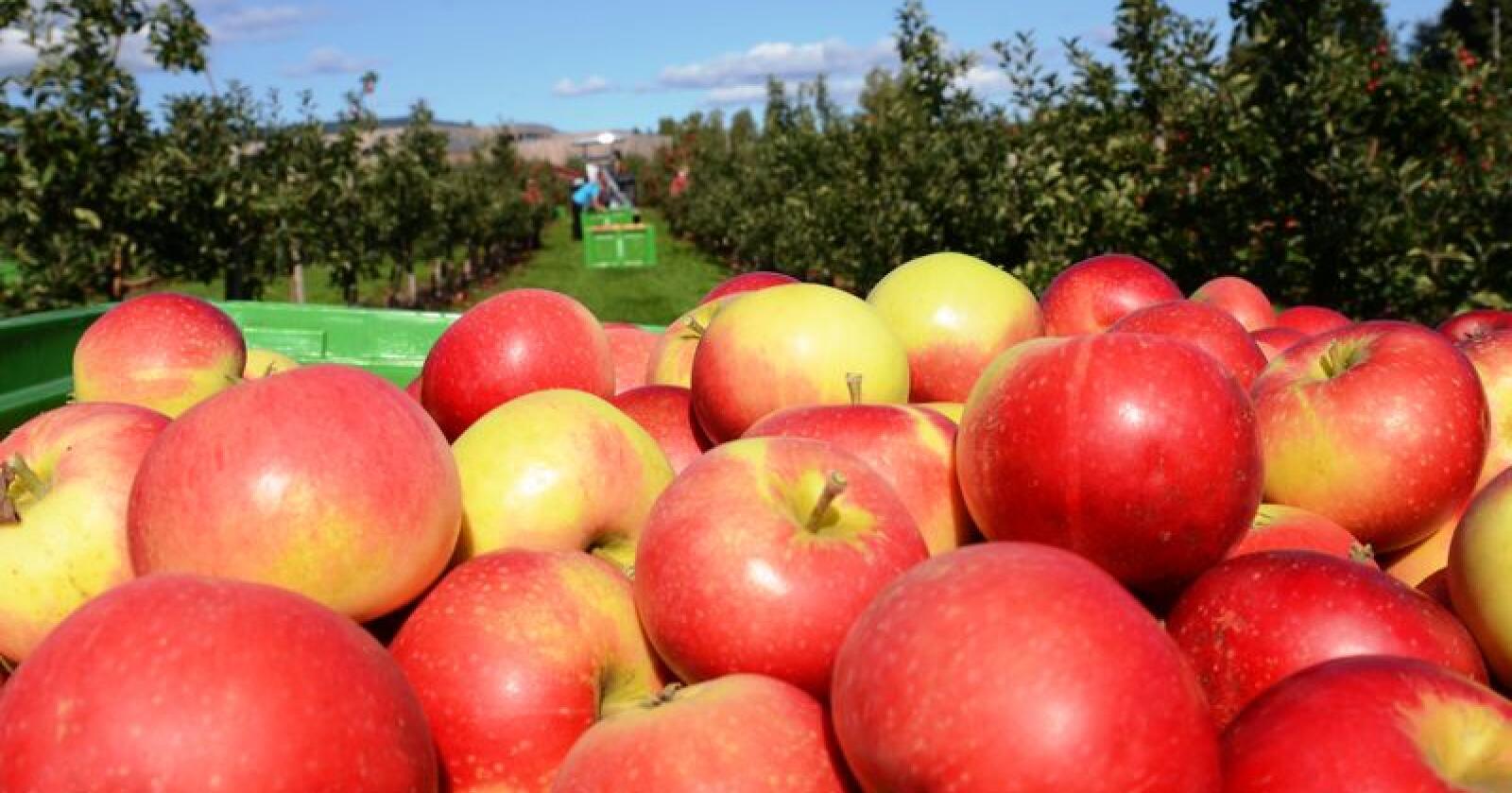 Kartlegginga som Gartnerhallen skal i gang med, vil gi svar på hvordan fruktproduksjonen ser ut fem år frem i tid.  Foto: Arkivfoto