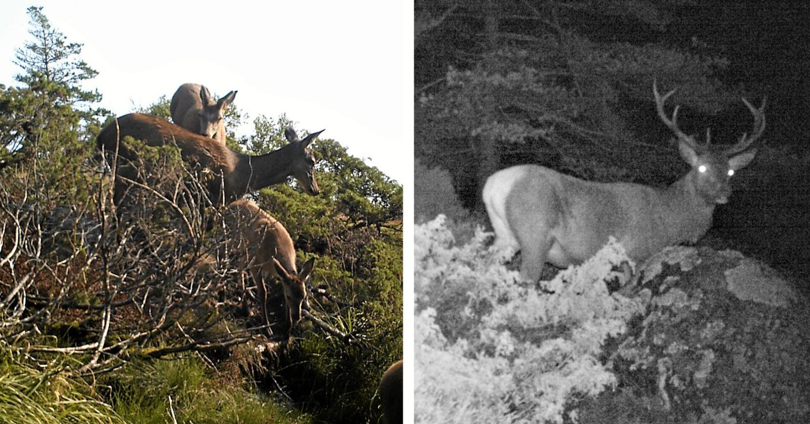 Disse bildene viser hjort som passerer i området hvor Statkraft har søkt om konsesjon til vindkraftutbygging. Foto: Kristoffer Birkeland