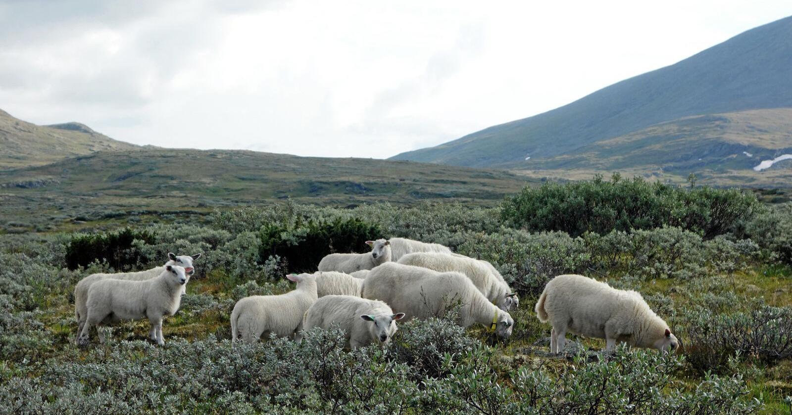 Utmark: Jordbruket sin bruk av utmark har gått sterkt attende etter krigen, skriv Yngve Rekdal. Foto: Yngve Rekdal