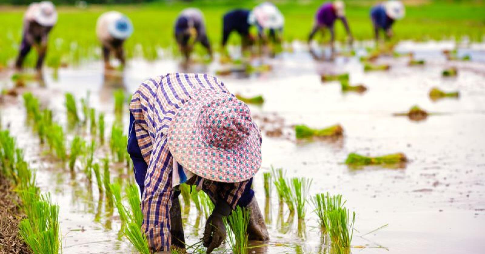 Over 90 prosent av alle gårder i verden, er familiedrevne. FN vil i en ny tiårsplan styrke småskalabønder både lokalt, nasjonalt og internasjonalt. Illustrasjonsfoto: Patrick Foto
