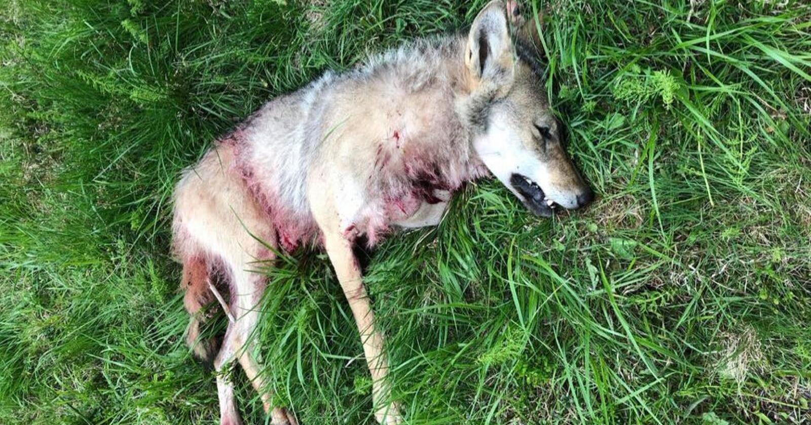 Denne hannulven blei skoten i Løten fredag kveld. Foto: Løten skadefellingslag