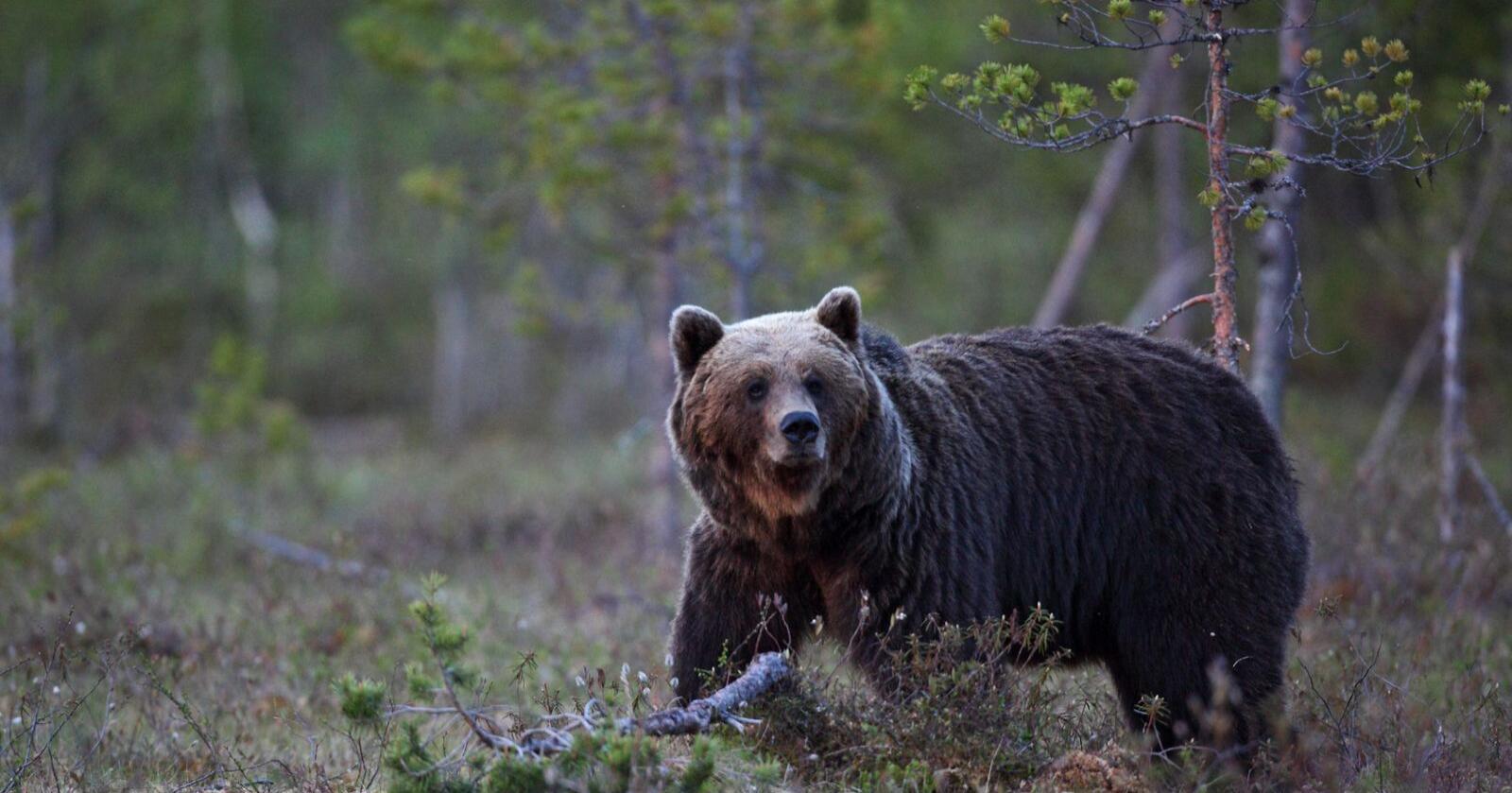 Svenske nødetater måtte rykke ut tirsdag morgen da en bjørn kom tett på to ungdommer som teltet. Illustrasjonsfoto: Steve Halsetrønning / NN / Samfoto