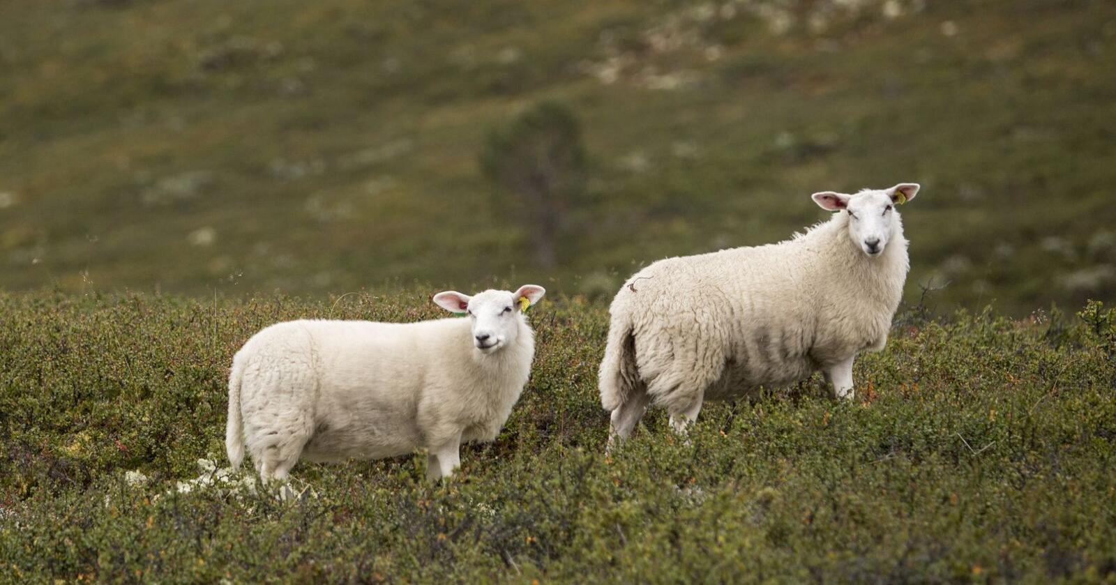 Jordbruket står for 8,8 prosent av norske klimagassutslepp, viser tal frå Miljødirektoratet. Mykje av dei utsleppa kjem frå fordøyinga til dyr. Avls-teknologi frå New Zealand skal no bidra til å få ned metanutsleppa. Arkivfoto: Paul Kleiven / NTB scanpix / NPK