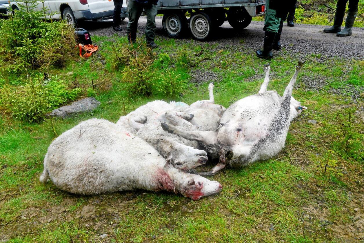 Sau tatt av ulv i høst. Foto: Mariann Tvete