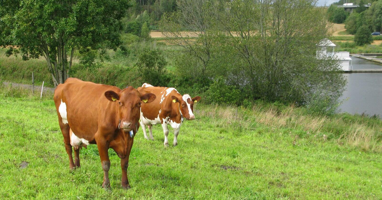 Særlig i år bør du vurdere å levere sommermelk, for å utnytte produksjonen maksimalt, og for å få fylt den økte kvota. Foto: Marianne Røhme