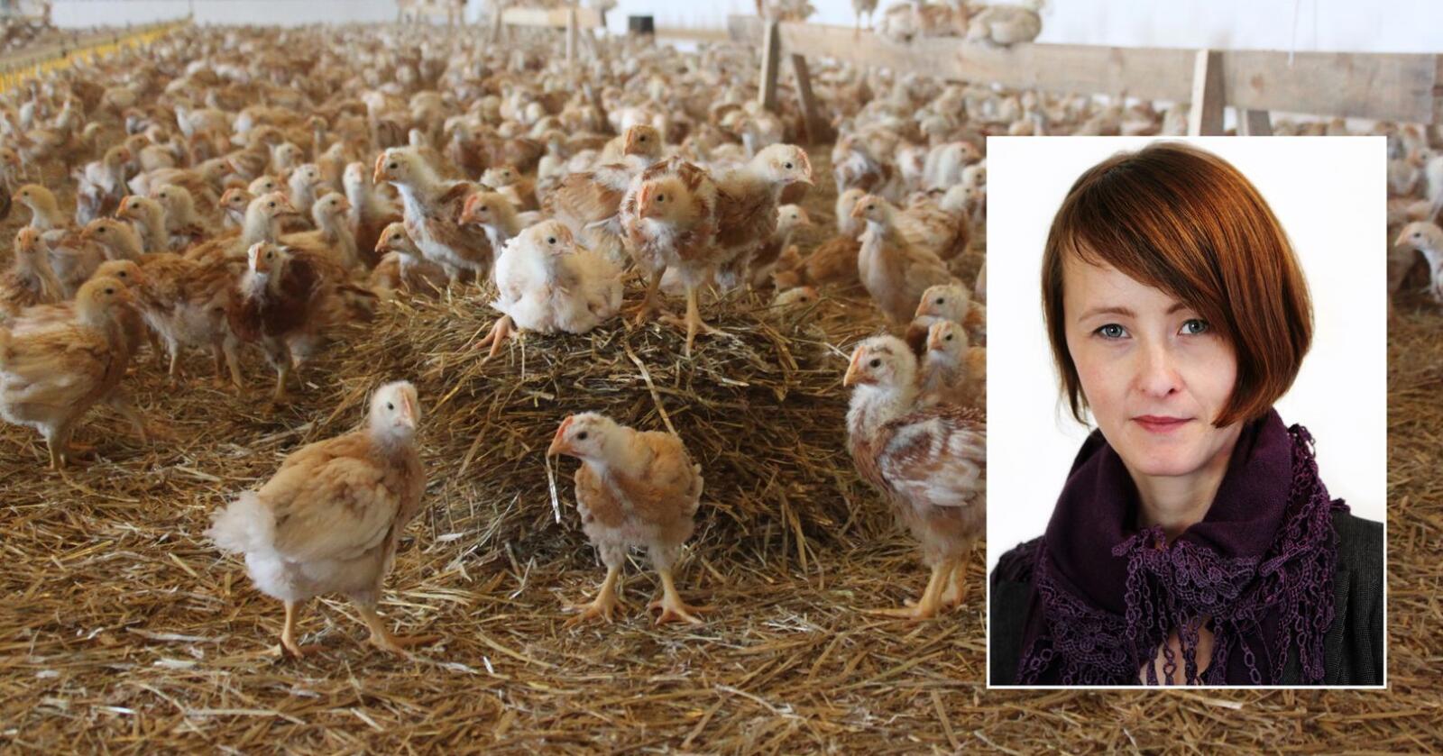 Intensiviteten i norsk kjøttproduksjon må ned, og da er utfasing av Ross 308 et opplagt tiltak, skriver Marianne Kulø er fagleder i Dyrevernalliansen. (Foto: Pål Thorvaldsen og Iselin Linstad Hauge)