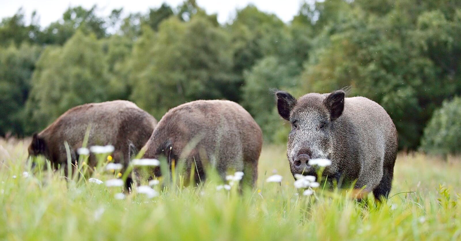 Foreløpig har ikke Mattilsynet fått inn noen tips om syke eller døde villsvin i Norge. Foto: Erik Mandre, Mostphotos
