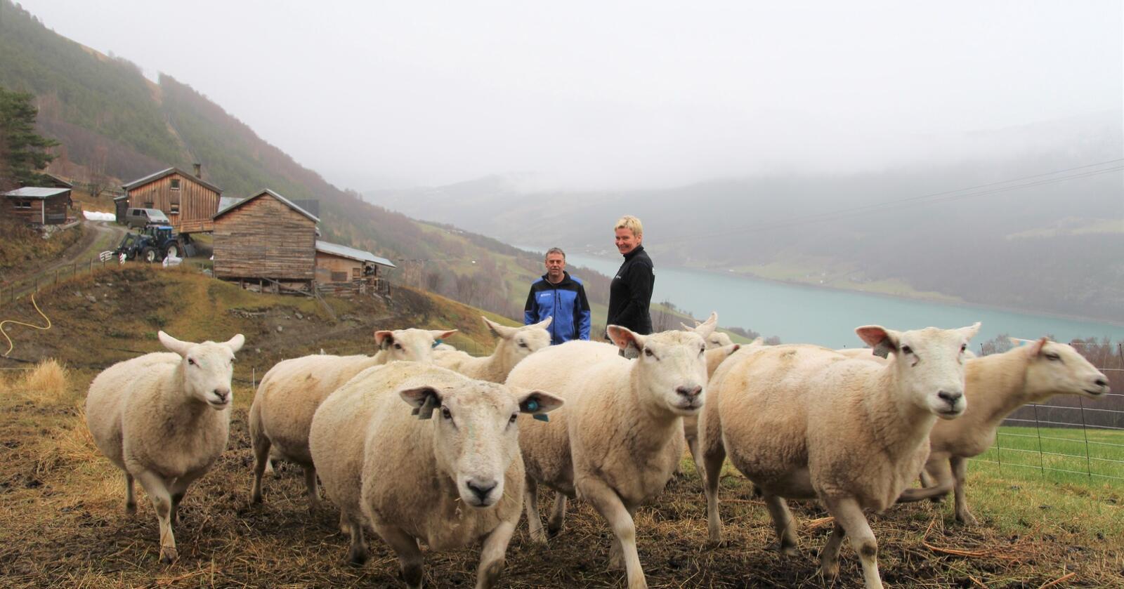 UTSIKT: 500 meter over havet og med fritt utsyn til Vågåvatnet ligger den gamle husmannsplassen Dalestugu. Her bor Per og Anne Kari med gjeterhunder og 60 søyer.
