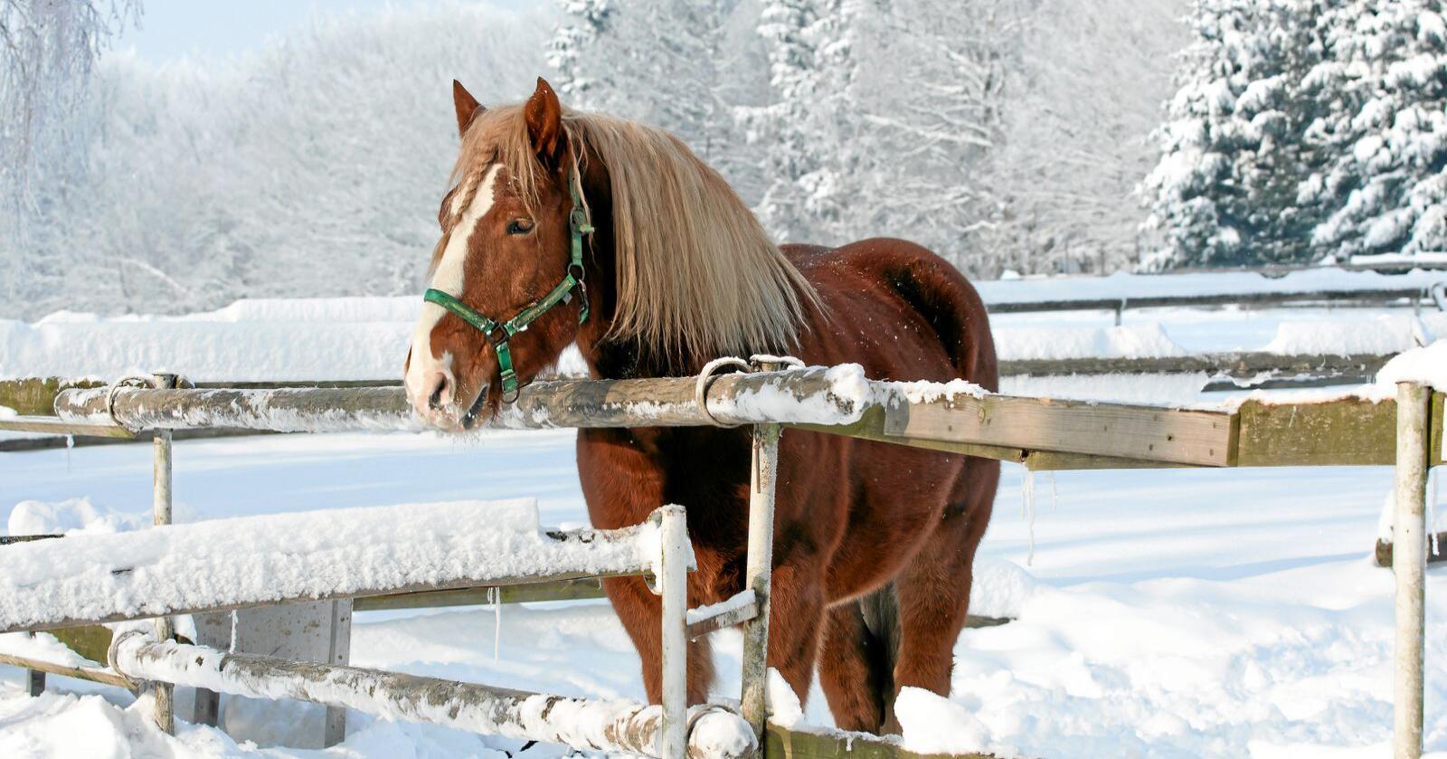 Cheval marron: Hester beslaglegger kornjord - og belaster matproduksjonens klimaregnskap tilsvarende en Paris-tur per dyr. Foto: Mostphotos