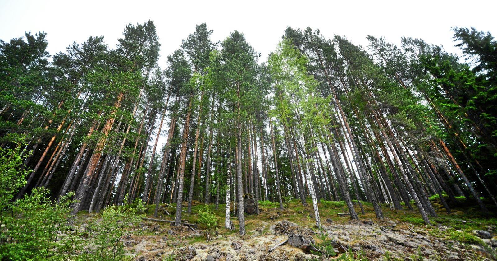 Delte meninger om skogsatsingen i årets statsbudsjett-forslag fra regjeringen. Foto: Siri Juell Rasmussen