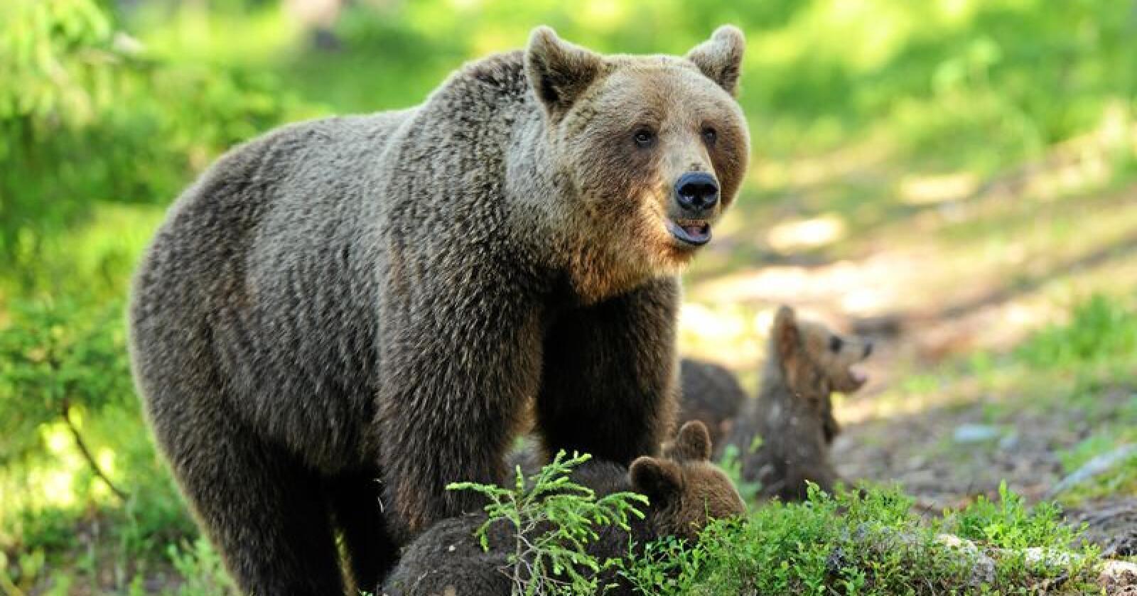 Ikkje ny kurs: Det ferske rundskrivet om bjørneforvaltning romma ikkje noko nytt, meiner klima- og miljøministeren. Foto: Erik Mandre / Mostphotos