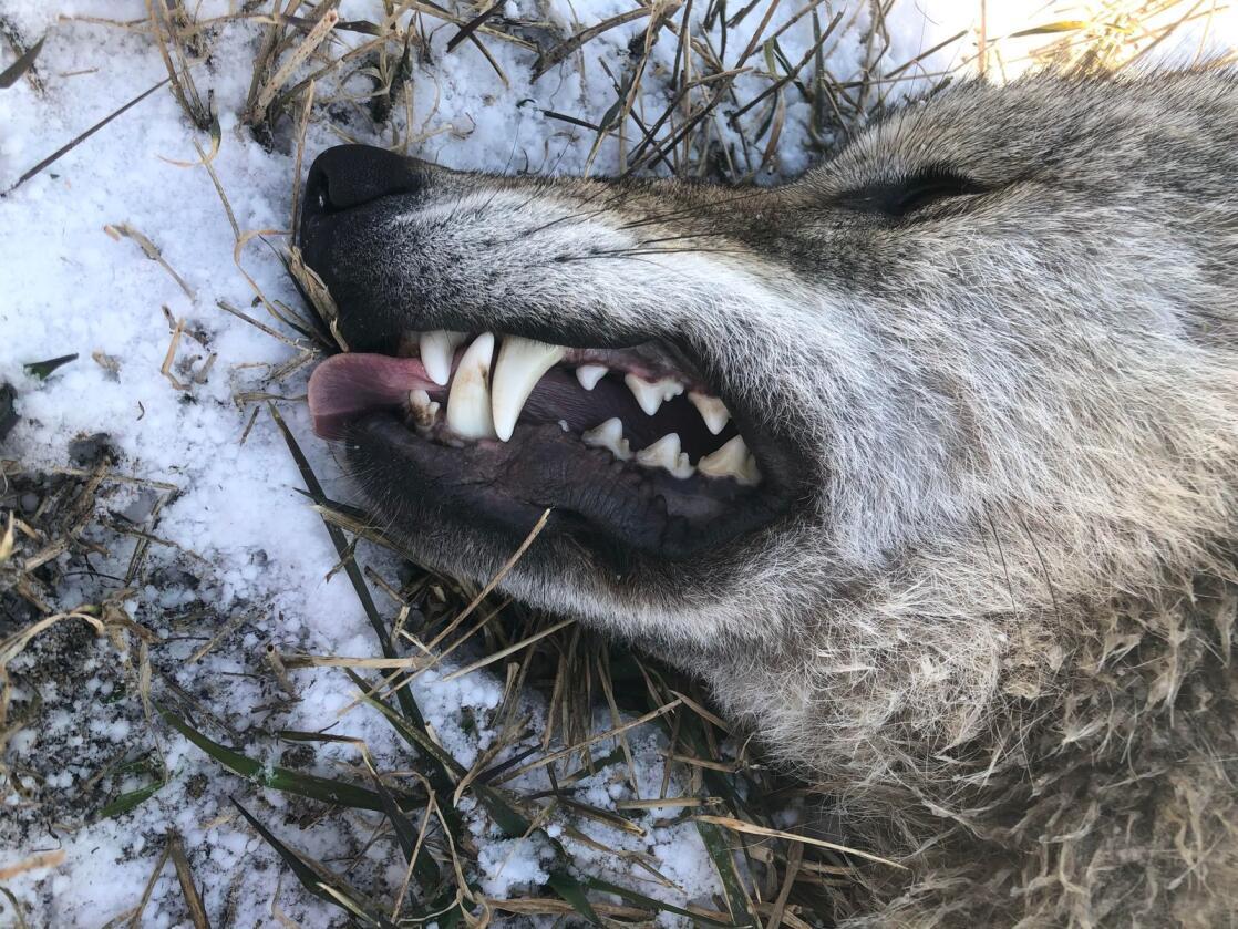Ulvetispa ble skutt i morgentimene mandag, ved en gård med alpakka og geit i Eidsvoll kommune. Foto: Henning Uti, skadefellingsleder