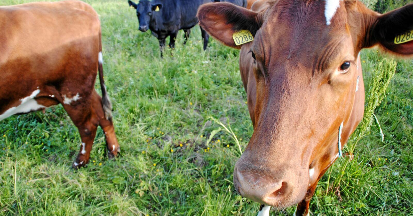 Geno skal avle på den kua som slipper ut minst metan. Illustrasjonsfoto: Lars Bilit Hagen