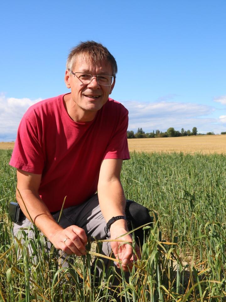 GULRUST: Professor Morten Lillemo ved NMBU leder et fireårig forskningsprosjekt for å forstå livssyklusen til gulrust bedre.