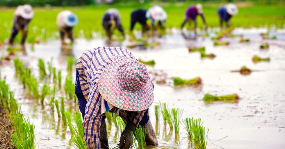 Mat-usikkerhet: Feilernæringsproblematikk er i dag svært utbredt i Europa og Sentral-Asia, viser en ny rapport om mat-usikkerhet fra FAO – FNs organisasjon for mat og landbruk. Bildet viser asiatiske arbeidere på en rismark. (Foto. Colourbox)