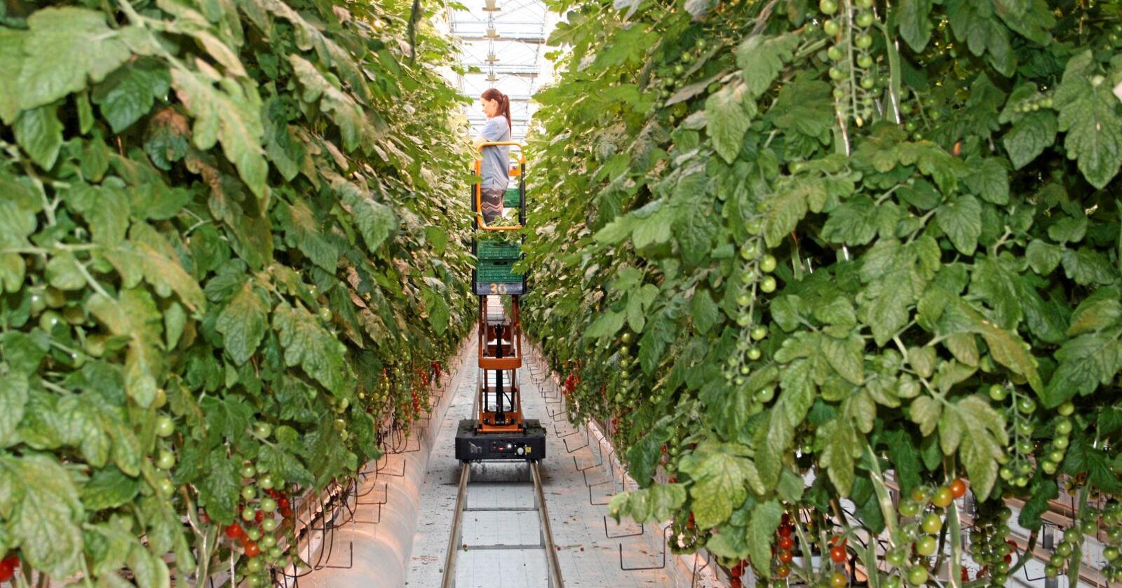 Norske tomater: To av tre tomater som spises i Norge, er importert. Men Norge har ypperlige forhold for å dyrke tomater i veksthus. Som her i Wiig gartneri på Jæren. Foto: Bjarne Bekkeheien Aase