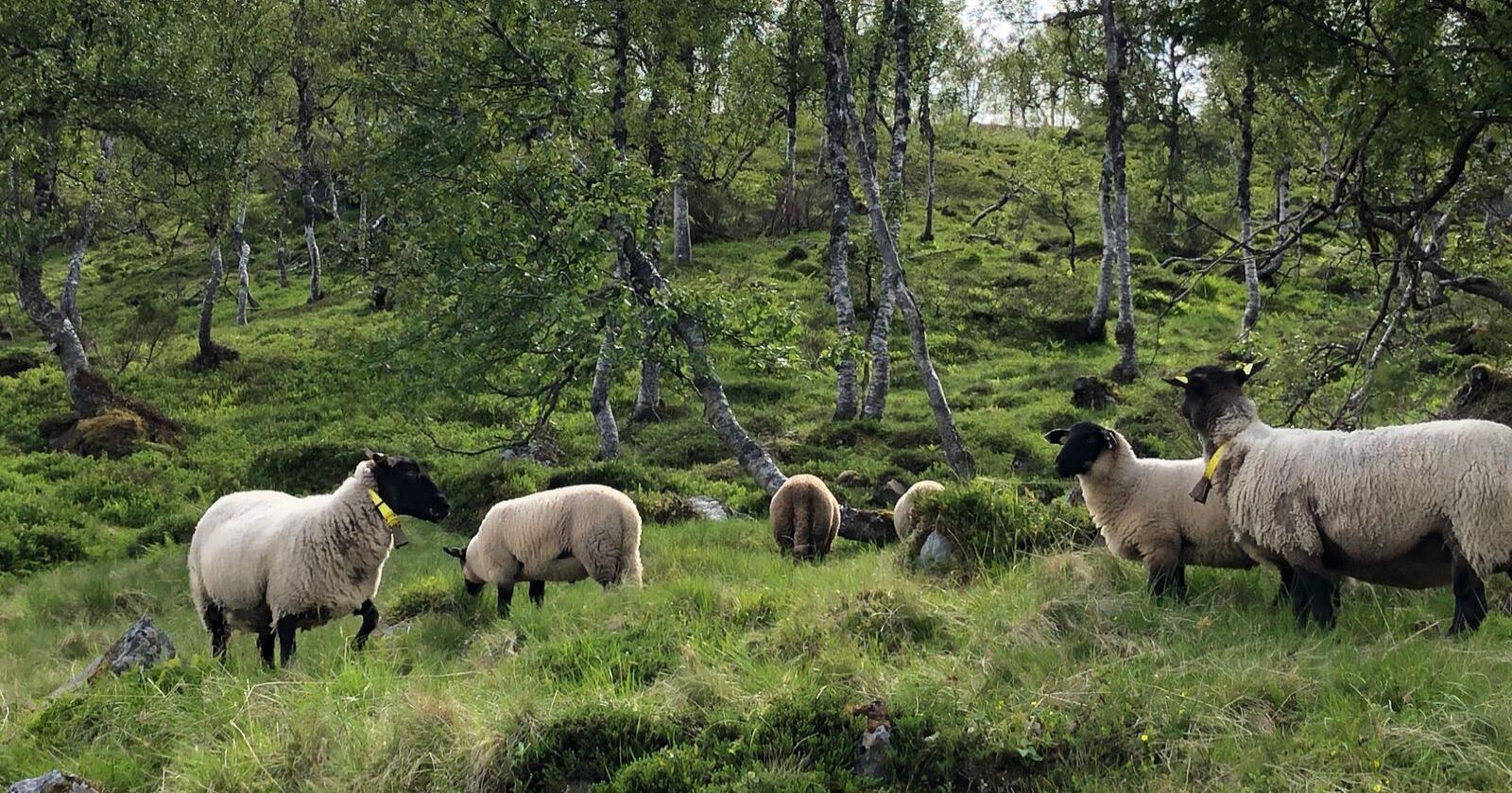 Rovviltforliket i Stortinget bygger på at det skal være mulig å forene opprettholdelse av dyr på beite og folks allmenne bruk av utmarka, skriver medlemmer i rovvilnemnd 4 og 5. (Foto: Karl Erik Berge)