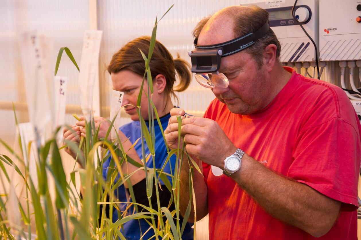 Sterilisering: Her er byggforedler Stein Bergersen og tekniker Vivian Rognerud i ferd med å åpne bladslira for å fjerne de hannlige forplantningsorganene på byggplanter de vil krysse med en annen sort.
