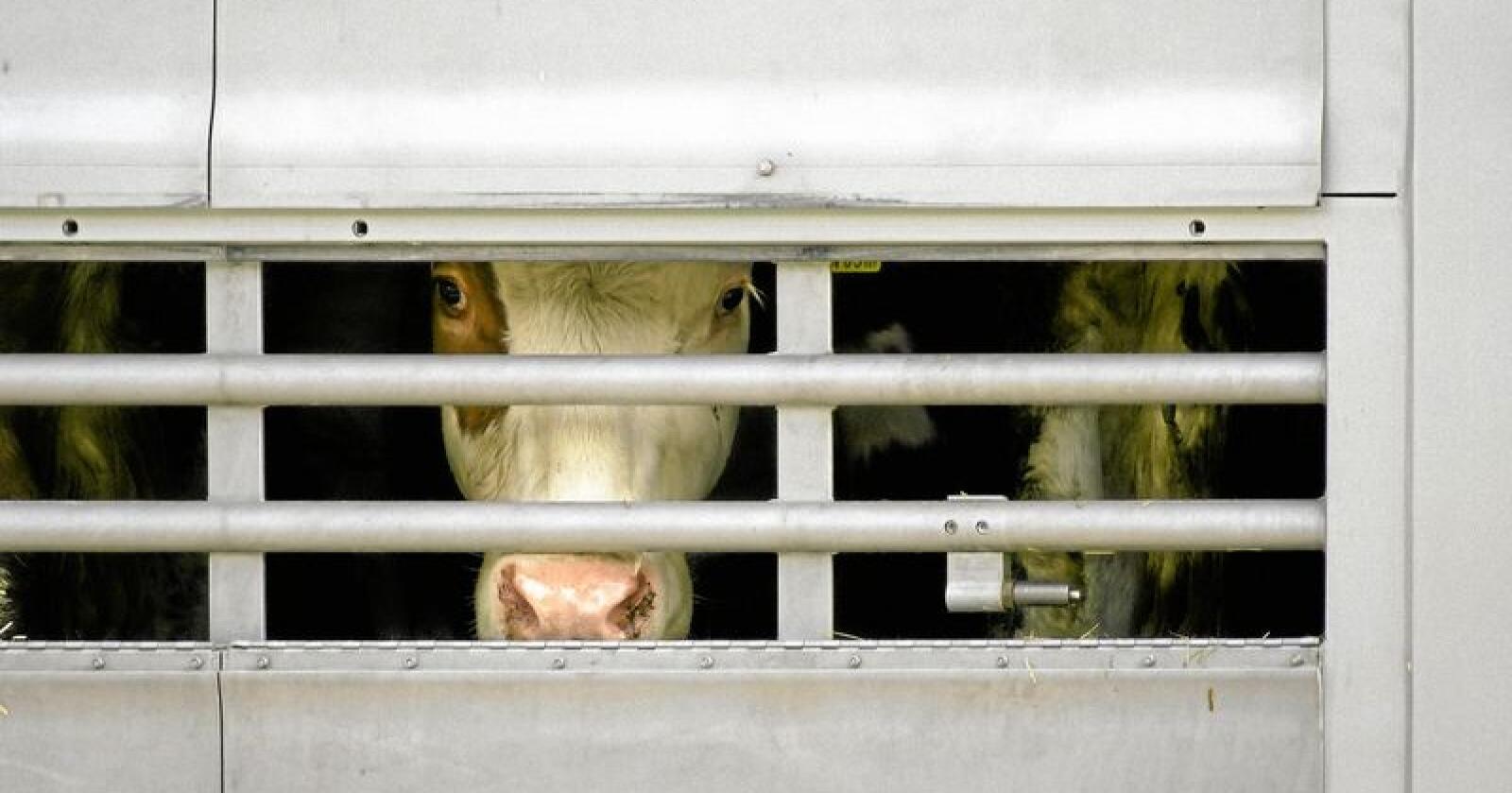 Dyretransport kan kun gjennomføres med kjøleanlegg eller på natten i denne varmen. Illustrasjonsfoto: Richard Schramm / Colourbox