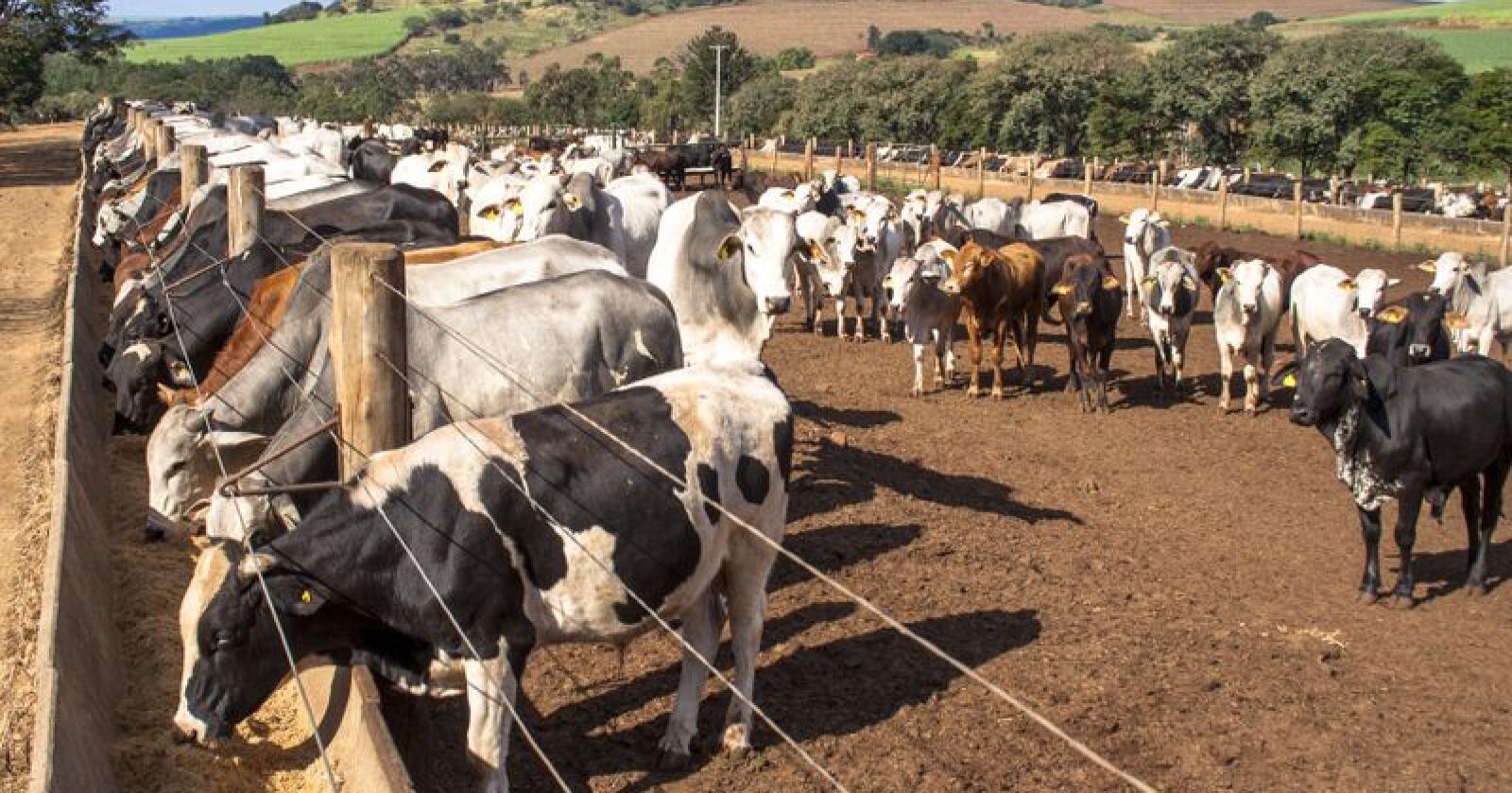 En avtale mellom EFTA og Mercosur ventes å ramme norsk landbruk svært hardt. På bildet ser vi storfe i Cravinhos i delstaten São Paulo, sørøst i Brasil. Foto: Alf Ribeiro/Shutterstock