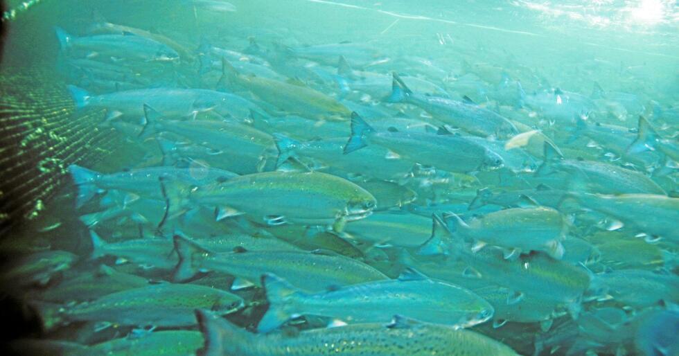 I merden: 53 millioner laks døde i merdene i 2017. Fiskehelserapporten viser at dødeligheten var like skyhøy i fjor som i 2016. Foto: Havforskningsinstituttet.