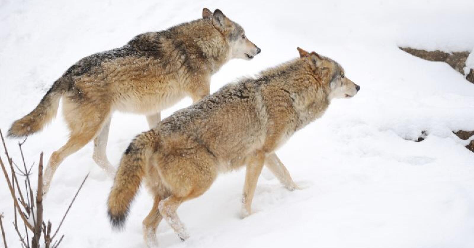 Statens naturoppsyn bekrefter at det er ulv i revirene til Osdals- og Julussaflokkene. Illustrasjonsbilde. (Foto: Colourbox/Volodymyr Burdiak)