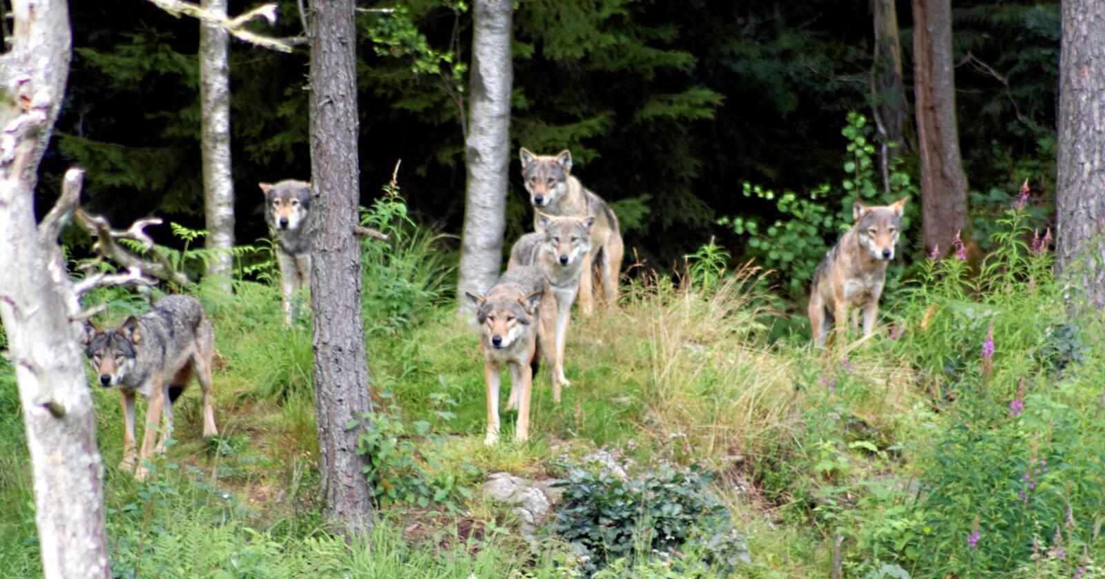 I løpet av høsten og vinteren har det gått en debatt i Tyskland om å få skyte mer ulv. Den tyske bondeorganisasjonen har blant annet tatt til orde for å endre lovene. Foto: Mostphotos