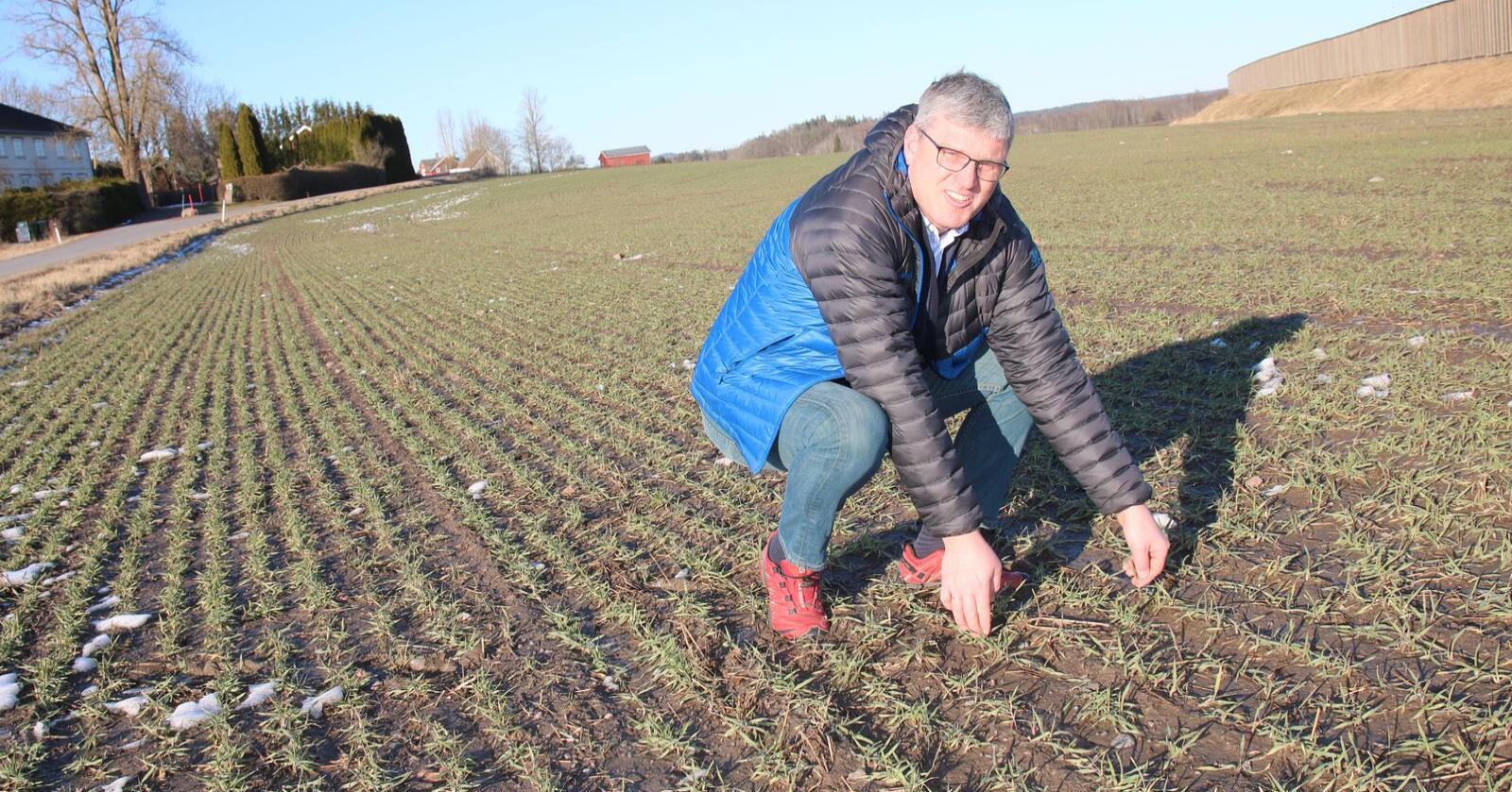 Høstbygget ser bra ut hos Oddbjørn Rød etter den milde vinteren. – Vinterbygget ble sådd tidlig og jeg regner med å treske mellom 20. juli og 1. august, sier Rød. (Foto: Lars Olav Haug)
