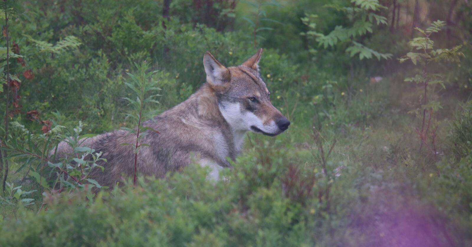 Sverige burde ha en ulv, men færre og færre vil ha den i nærheten, ifølge en undersøkelse fra det svenske universitetet for landbruksvitenskap. Foto: Mostphotos