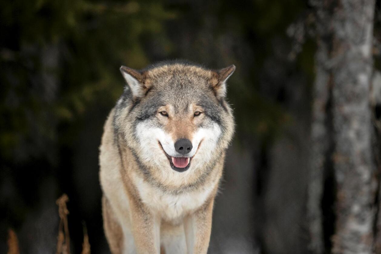 69 sauer er bekreftet tatt av ulv i Hurdal i Akershus og på Gran i Oppland den siste uka. Natt til tirsdag ble nye saueflokker etter alt å dømme angrepet av ulv. Illustrasjonsfoto: Heiko Junge / NTB scanpix
