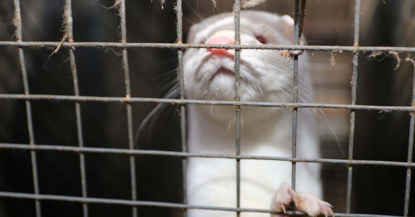 Fredag 15. januar inntrer loven som gjør det forbudt å ha mink i Danmark. Men noen få tusen minkdyr er fortsatt ikke avlivet. Bønder og forskere håper disse dyra kan bli med i et forskningsprosjekt om hvordan koronavaksinen virker på mink. Bildet er tatt i Norge. Illustrasjonsfoto: Bondebladet