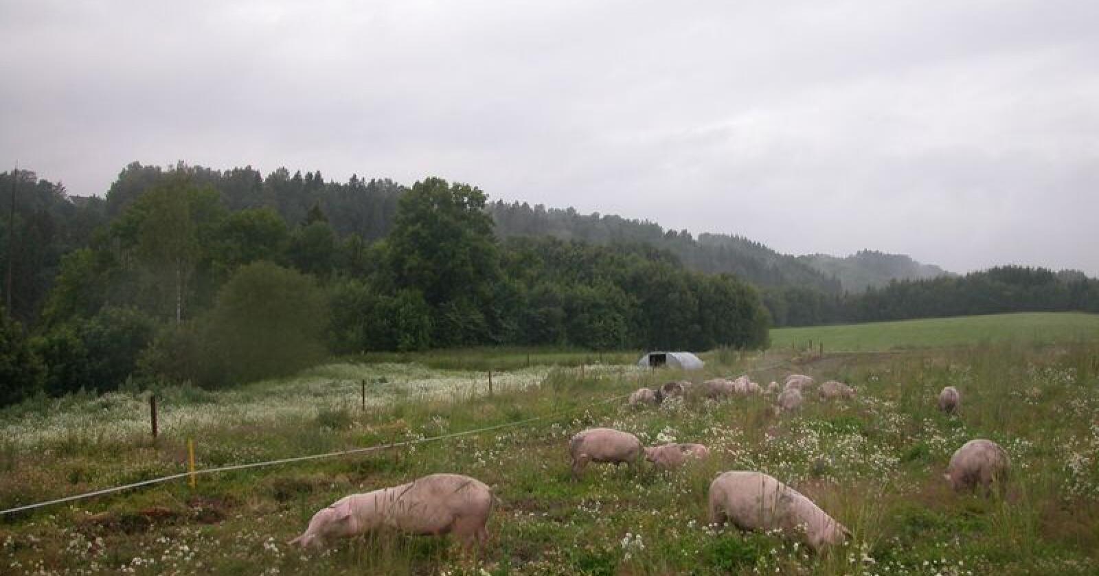 Gras-gris: Få proteinvekster kan i dag dyrkes i Norge, noe som utgjør en stor utfordring for målet om helnorsk svinefôr. Men Norsvin ser nye muligheter etter testing av en ny produksjonsmetode. Bildet er fra Grøstad gård. (Foto: Linda Sunde)