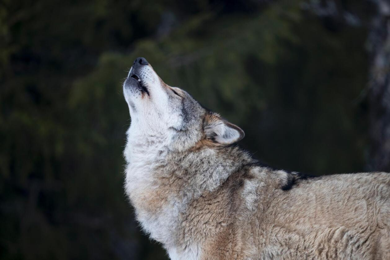 Leder i rovviltnemnda i Hedmark, er ikke overrasket over at de har fått klager på vedtaket om å ta ut 36 ulv. Foto: Heiko Junge / NTB scanpix