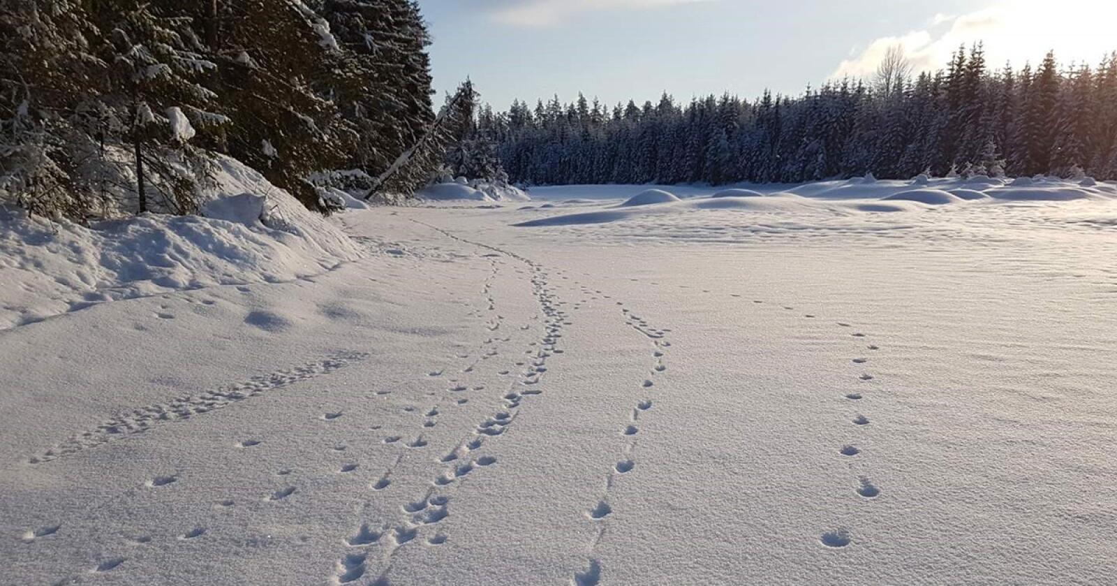 Sju ulver vandret på elveisen på Varåa i starten av februar. Foto: Erling Maartmann/Høgskolen i Innlandet/Evenstad