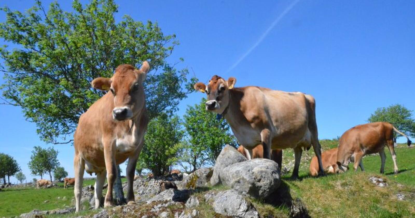 POPULÆR: Antallet jerseykyr har økt med 60 prosent på fem år. Arkivfoto: Norsk Landbruk