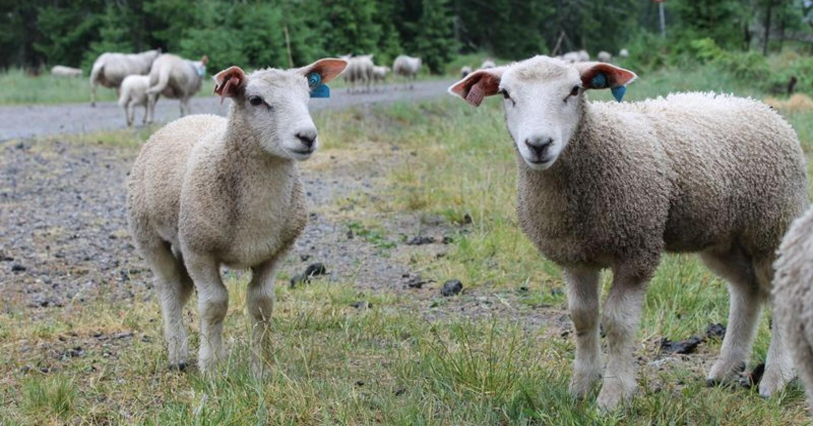 STØRRE: Tilveksten på lam fra veiing på våren til veiing på høsten blir bedre år for år.
