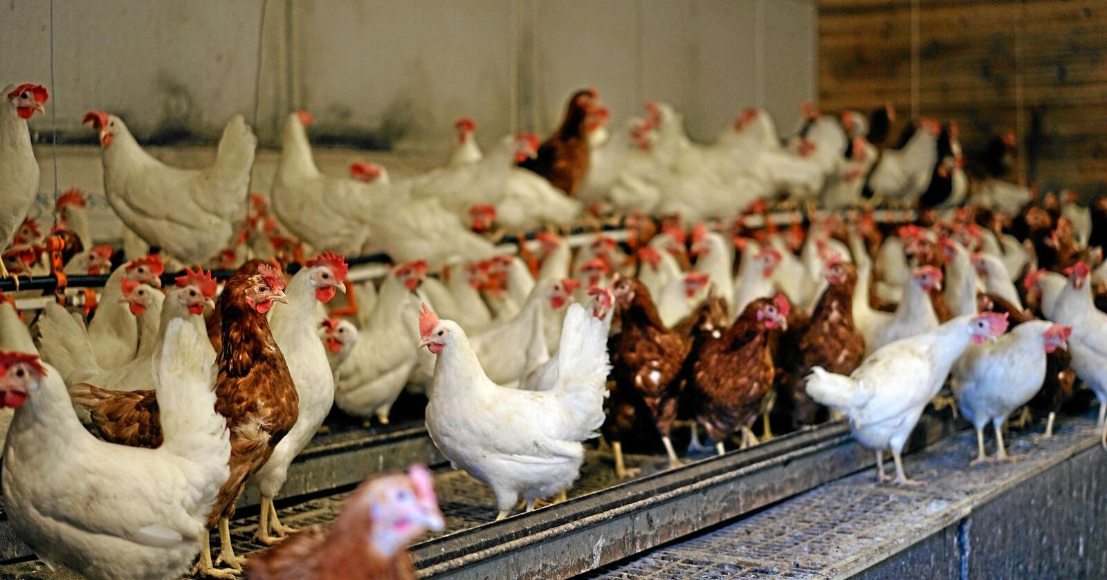 Husdyrtilskuddet for verpehøner øker med én krone per høne. Foto: Benjamin Hernes Vogl