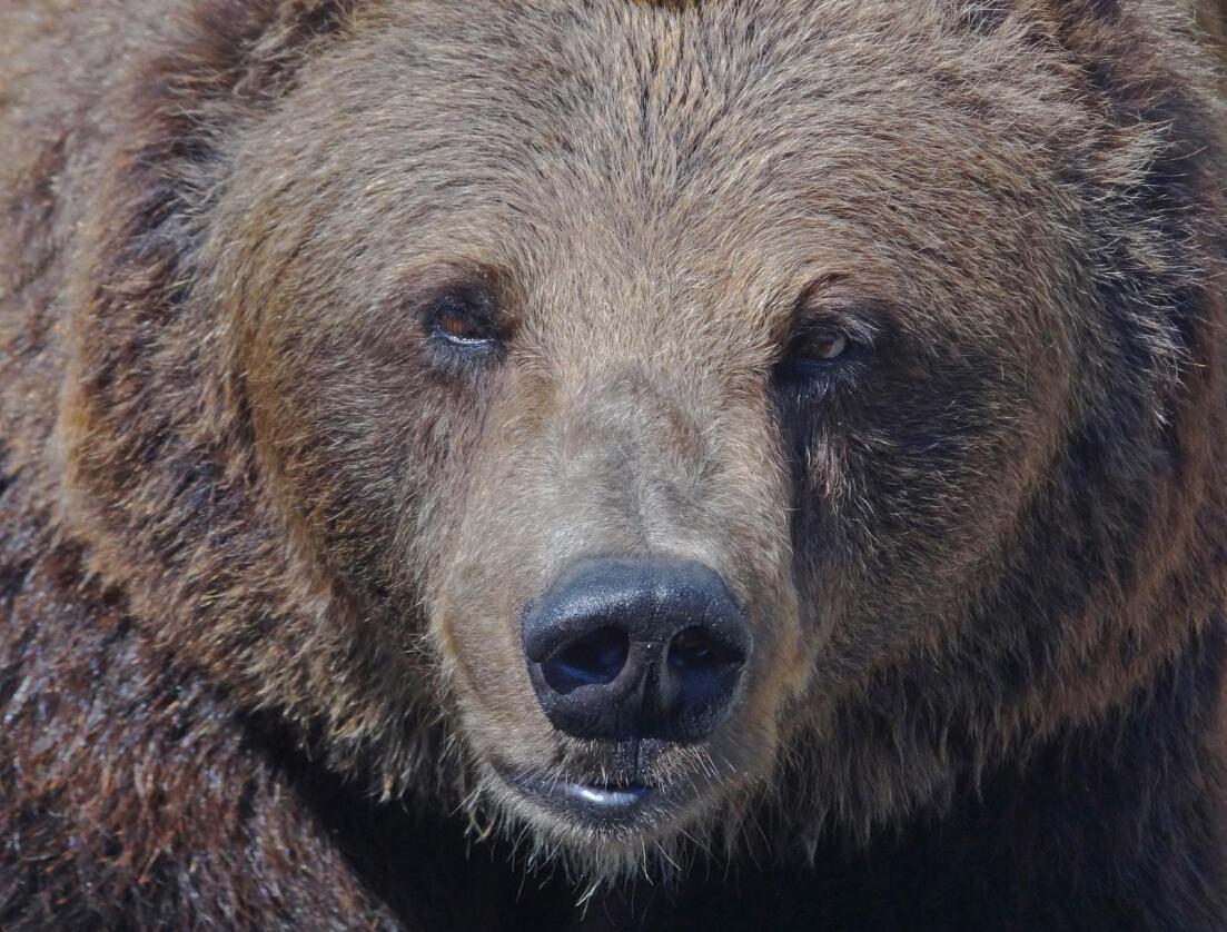 De store rovdyrene er på vei tilbake til et tett befolket Europa. Her ser vi en brunbjørn i Polen. Foto: Per Løchen / NTB scanpix